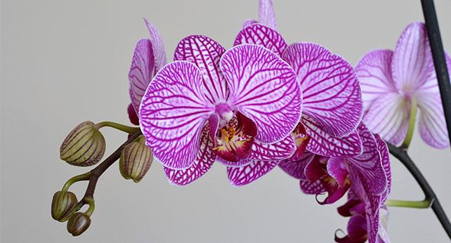 как се отглеждат орхидеи на открито