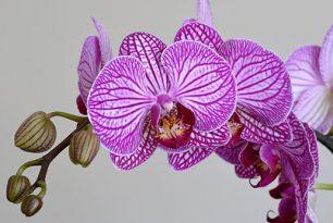 Как се отглеждат орхидеи на закрито