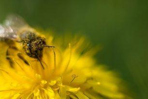 Пчелен прашец какво трябва да знаем