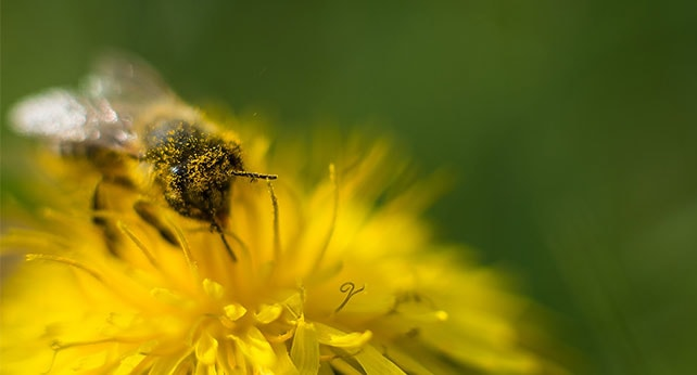Пчелен прашец факти